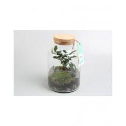 Petit terrarium ficus...