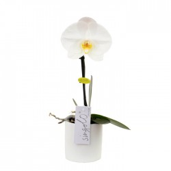 """Orchidée """"Singolo"""" Blanche"""