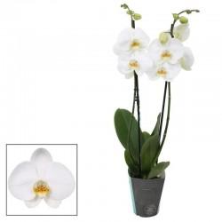 "Orchidée ""Phalaenopsis""..."