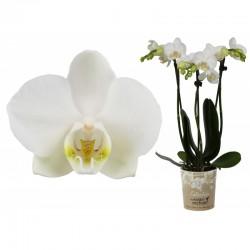 """Orchidée blanche """"Little..."""