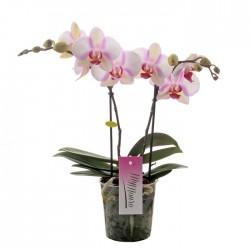 """Orchidée """"MyMonro"""""""
