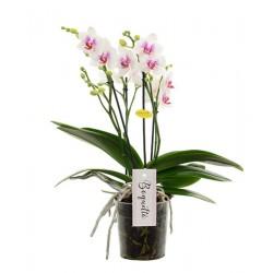 "Orchidée ""Boquetto"" blanche..."